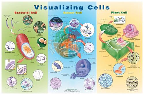 Poster: Visualising Cells (Laminated)